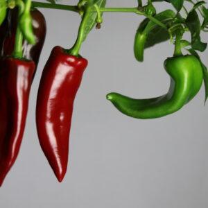 Anaheim Chilipflanze