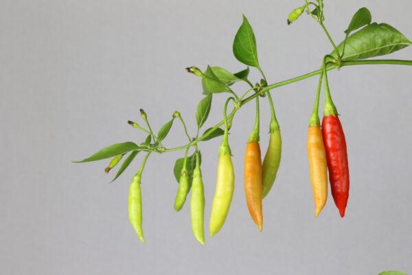 Birgit´s Locoto Chilipflanze