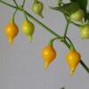 Biquinho Amarelo Chilipflanze