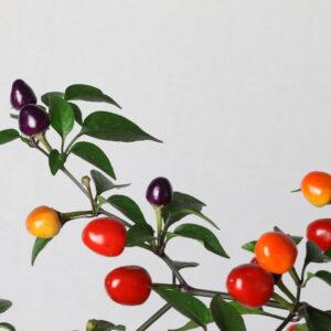 Filius Blue Chilipflanze