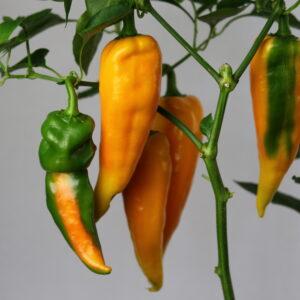 Corno di Toro Giallo Chilipflanze