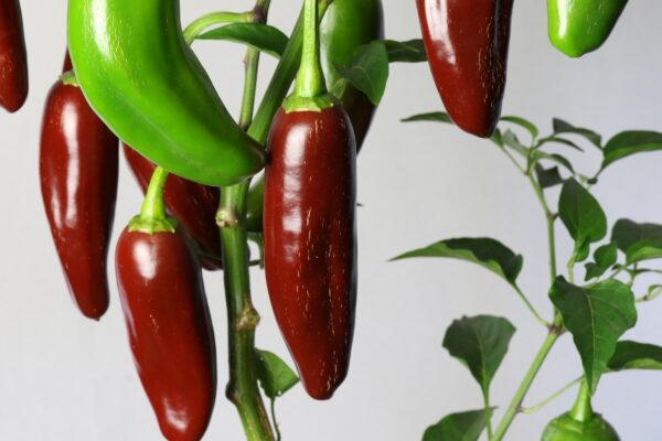 Jalapeno Brown Chilipflanze