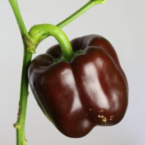 Chocolate Beauty Chilipflanze