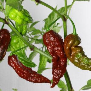 Bhut Jolokia Chocolate Chilipflanze