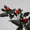 Black Coban Chilipflanze