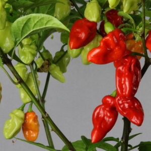 Habanero Tobago Seasoning Chilipflanze