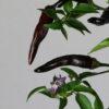 Cayenne Purple Chilipflanze