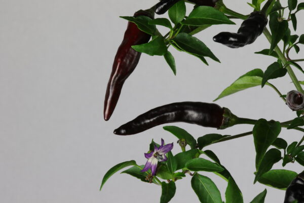 Cayenne Purple Chilipflanze