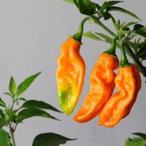Carbonero Chilipflanze