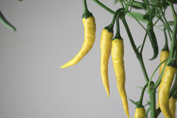 Cayenne Golden Chilipflanze