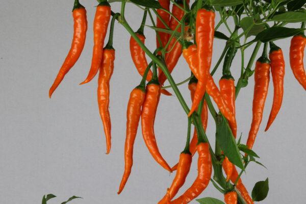 Cayenne Orange Chilipflanze
