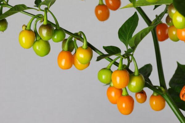 Bode Amarelo Chilipflanze