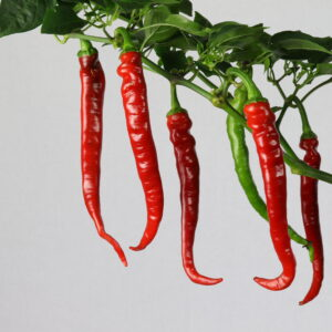 Cayenne Long Slim Chilipflanze