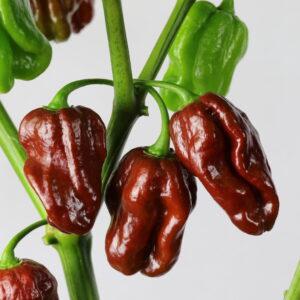 Habanero Morado Chilipflanze