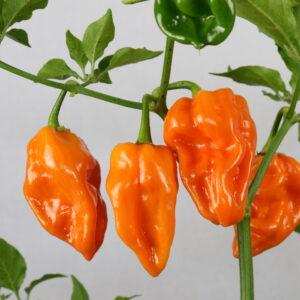 Habanero Naranja Piccante Chilipflanze