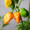 Habanero Craig´s Double Hot Orange Chilipflanze