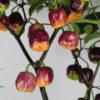 CGN 21500 Chilipflanze