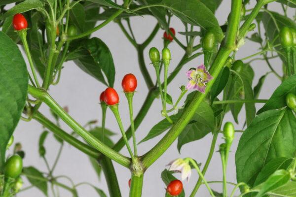 Capsicum praetermissum Chilipflanze