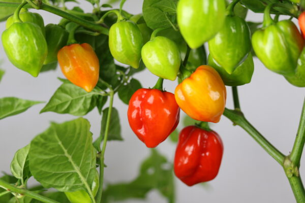 Habanero Red Savina Chilipflanze