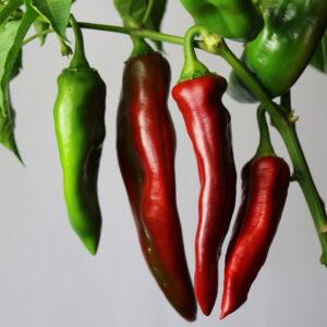 NuMex Joe E. Parker Chilipflanze