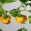 Scotch Bonnet Yellow Chilipflanze