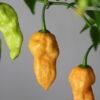 Bhut Jolokia Peach Chilipflanze