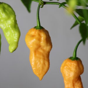 Bhut Jolokia Peach Chilipflanze