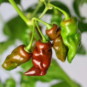 Devils Tongue Chocolate Chilipflanze