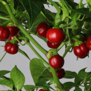 Akabare Khursani Chilipflanze