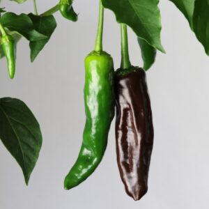 Chile Negro Chilipflanze