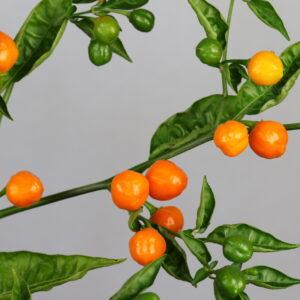 Capezzoli di Scimmia Chilipflanze