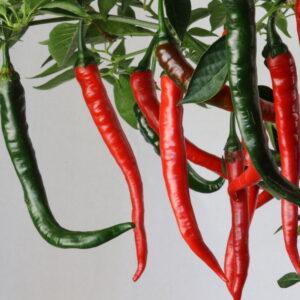 Banjarmasin Chilipflanze