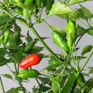 Baccato de Orto Chilipflanze