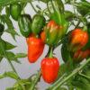 Bolivar de Minas Gereis Chilipflanze