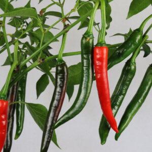 Favignana Hot Chilipflanze