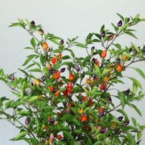 Bolivian Rainbow Chilipflanze