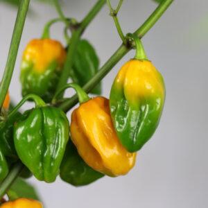 Habanero Golden Chilipflanze