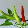 Thai Dragon Chilipflanze