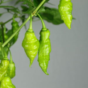 Trinidad Scorpion Green Chilipflanze