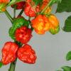 Sunrise Scorpion Chilipflanze