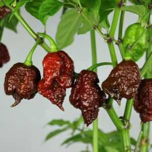 Chocolate Reaper Chilipflanze