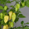 Bhut Jolokia White Chilipflanze