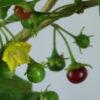 Capsicum rhomboideum Chilipflanze