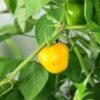 Rocoto Costa Rican Yellow Chilipflanze