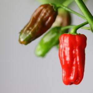 Phiringi Jolokia Chilipflanze