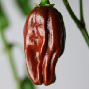 Habanero Ebony Giant Chilipflanze