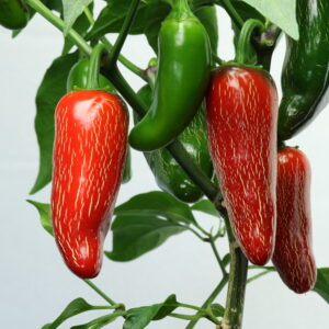 TAM Jalapeno Chilipflanze