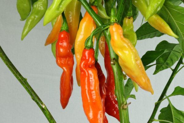 Piment Végétarien Chilipflanze