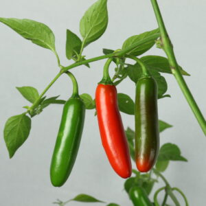 Serrano Chilipflanze