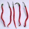 Cabe Keriting Chilipflanze